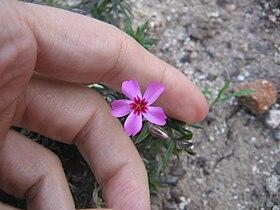 Phlox subulata 03.jpg