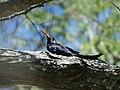 Phoeniculus purpureus.jpg
