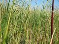 Phragmites australis australis (21075794926).jpg