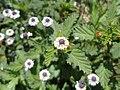 Phyla nodiflora (Familyː Verbenaceae) II.jpg