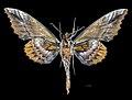 Phyllosphingia dissimilis perundulans MHNT CUT 2010 0 202 Assam India, male ventral.jpg