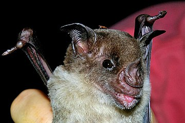 Pale spear-nosed bat Phyllostomus discolor2b.jpg