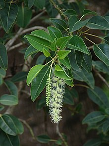 Phytolacca dioica flowers.jpg