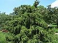 Picea abies acrocona norway spruce.JPG