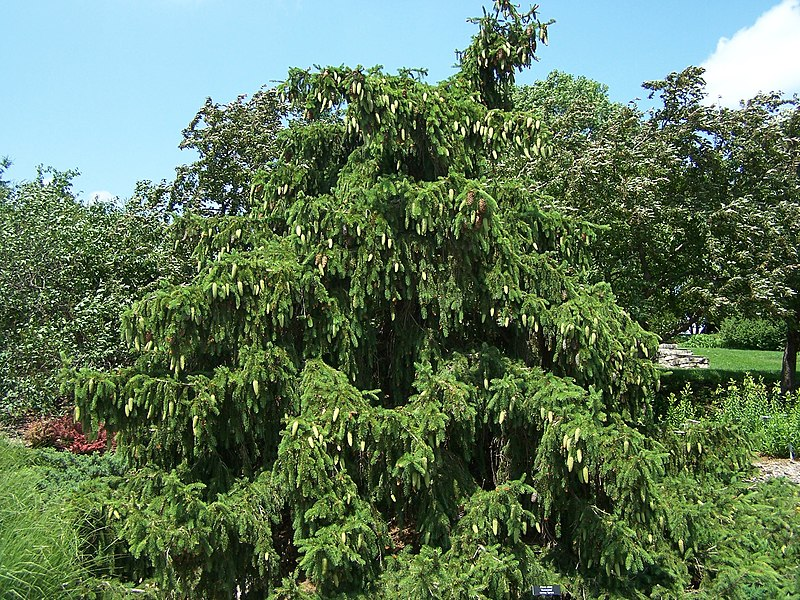 Commons wikimedia org wiki file picea abies acrocona norway spruce jpg