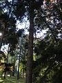 Picea orientalis 12.JPG