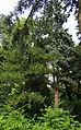 Picea pungens 'Argentea' Syrets.JPG