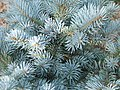 Picea pungens `Glauca globosa`a1.jpg