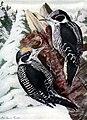 Picoides dorsalis AAP061A.jpg