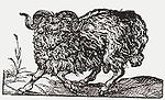 Picture of a ram, 1569 by Jost Amman.jpg