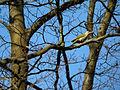 Picus canus, Rocherath 2.jpg