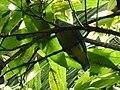Pigeon vert de Tahiti.jpg