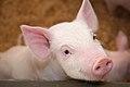 Pigs (5654611089).jpg