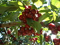 PikiWiki Israel 31448 Cherry fruits.JPG