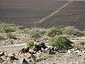 PikiWiki Israel 713 Hirax שפן סלע צופה על כביש הכניסה.jpg