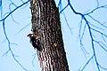 Pileated woodpecker (40212584381).jpg