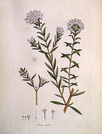 Pimelea linifolia - Image: Pimelea linifolia by Sowerby