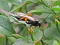 Pimpla rufipes (Ichneumonidae) - (imago), Elst (Gld), the Netherlands.jpg