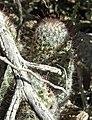 Pincushion cactus, Saguaro National Park (Tucson Mountain District), Arizona (48953709-d6c8-4816-a5f5-e02251e9ad7e).jpg