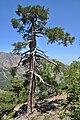 Pine tree 0734.jpg
