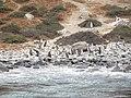 Pingüinos de Humboldt.jpg