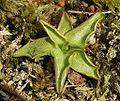 Pinguicula vulgaris 230405.jpg
