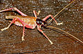 Pink-legged Raspy Cricket (Gryllacrididae) (23444071779).jpg