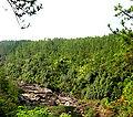 Pinus hondurensis forest Cayo.jpg