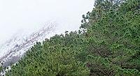 Pinus johannis, Los Oyameles, Arteaga, Coahuila 1.jpg