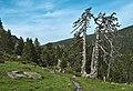 Pinus mugo ssp uncinata Donezan.jpg