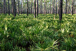 Pine forest with palmetto understory.
