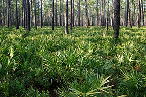 Pinus palustris forest, Osceola National Forest.jpg