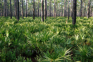 Osceola National Forest - Image: Pinus palustris forest, Osceola National Forest