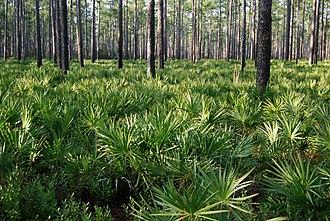 Osceola National Forest - Image: Pinus palustris forest, Osceola National Forest