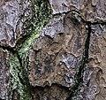Pinus taeda 29 NBG LR.jpg