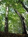Pisagor ağacı - panoramio.jpg