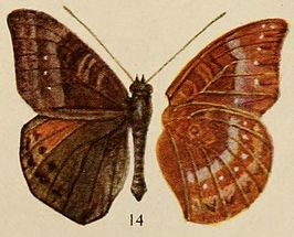 Pl.12-14-Euriphene rotundata (Holland, 1920).JPG