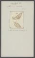 Planaria cornuta - - Print - Iconographia Zoologica - Special Collections University of Amsterdam - UBAINV0274 105 08 0003.tif