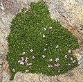 Plant on Réserve naturelle nationale des Aiguilles Rouges.jpg