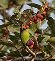 Plum-headed Parakeet (Psittacula cyanocephala) feeding on Ficus benghalensis W IMG 4324.jpg