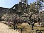 Plum blossoms in Shukkei Garden 3.jpg