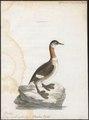 Podiceps grisegena - 1786-1789 - Print - Iconographia Zoologica - Special Collections University of Amsterdam - UBA01 IZ17800061.tif