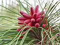 Pollen cones on a Slash Pine.jpg