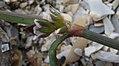 Polygonum oxyspermum subsp. raii stem (02).jpg