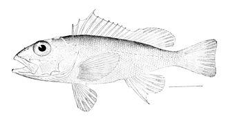 Scorpaeniformes - Scorpaenidae: Longspine scorpionfish, Pontinus longispinis