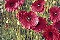 Poppies - geograph.org.uk - 516349.jpg