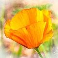 Poppy (9168889869).jpg