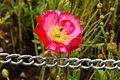 Poppy flower in dachigam reserve.jpg