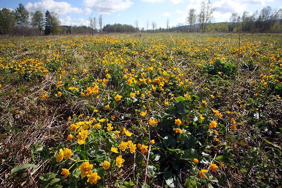 Le populage des marais (Caltha palustris) envahit les zones humides au mois de mai.
