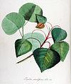 Populus monilifera — Flora Batava — Volume v14.jpg